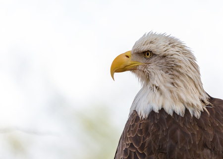 Closeup side view of the head of a beautiful American Bald Eagle