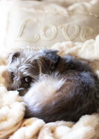 Cute shaggy terrier dog lying on fleece blanket with pillow that says Love Reklamní fotografie