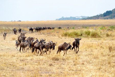 Herd of blue wildebeest running in a line through the open plains of Kenya, Africa during migration season.