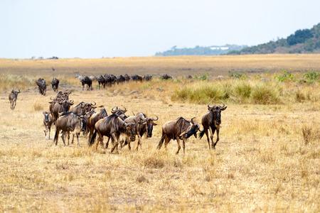 Kudde blauwe gnoes loopt in een rij door de open vlaktes van Kenia, Afrika tijdens het migratieseizoen.