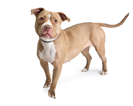 Fawn color pit bull dog standing on white, looking into camera