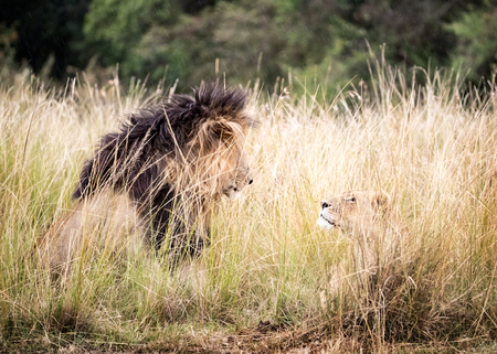 African lion and lioness looking at each other with affection while lying in a tall grass field in Kenya, Africa