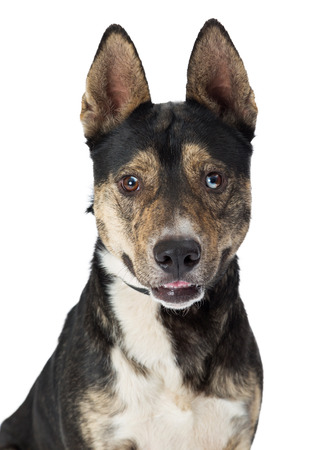Closeup of cute brown, black and white medium size mixed Shepherd breed dog with happy expression Stock Photo - 93247310