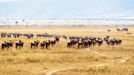 Herd of wildebeest in open plain in Kenya, Africa with cut-grass road