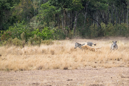 Lioness hunting and jumping on zebra in the Hippo Pool area of the Masai Mara National Reserve in Kenya, Africa
