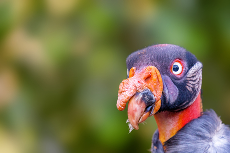Closeup selective focus photo of head of a King Vulture bird with copy space Stock Photo