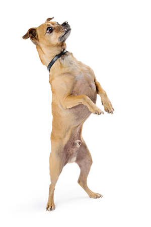 Cute little Chihuahua dog standing up on hind legs with paws up to beg