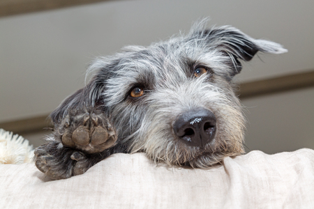 Tired medium size mixed terrier breed dog lying on bed with head and paws hanging over. Low angle perspective. Reklamní fotografie