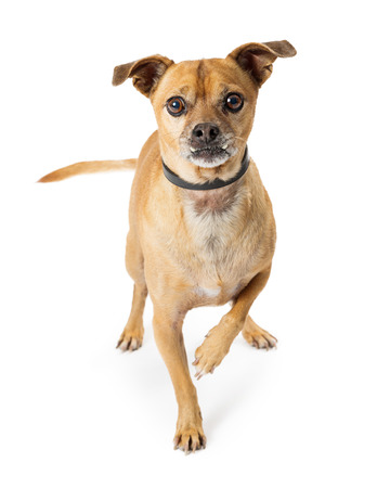 Cute Chihuahua dog standing and lifting one leg, looking at camera with attention Imagens