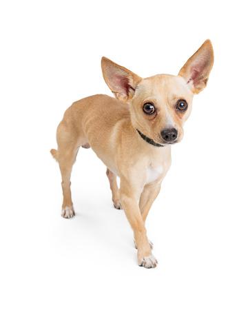 Leuke schuwe Chihuahua-hond die zich op wit bevinden en camera bekijken Stockfoto