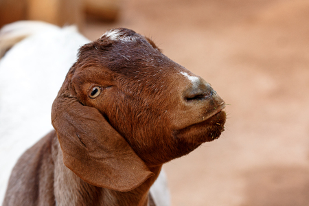 Closeup of cute goat face on a farm with copy space