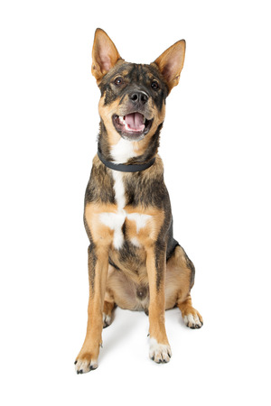 Happy friendly mixed shepherd breed medium size dog with open mouth and happy expression Stock Photo - 93247287