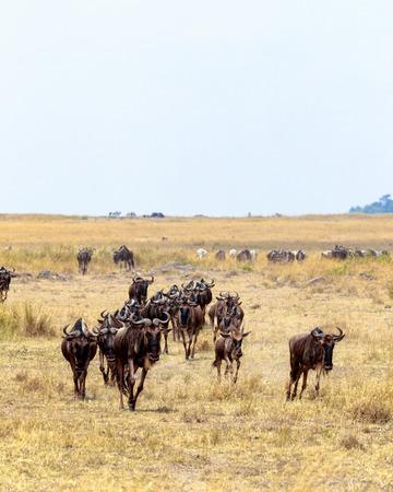 Herd of blue wildebeest running through the open fields of the Masai Mara in Kenya, Africa