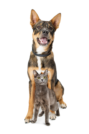 Happy and excited mixed breed shepherd dog and gray color cat sitting together on white backgroung looking up