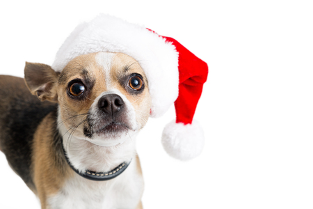 Funny cute Chihuahua crossbreed dog wearing Christmas Santa Claus hat over white with copy space
