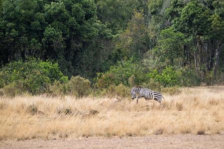 Twee leeuwinnen in de Masai Mara jagen in Kenia, Afrika op een zebra die over hen springt