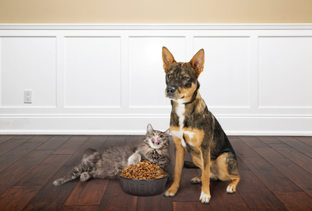 Funny and conceptual photo of a dog with angry expression as cat eats his bowl of kibble food
