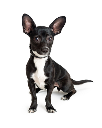 Cute small black color Chihuahua dog sitting on white background and looking into camera