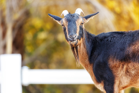 San Clemente goat on a farm with copy space in nature background