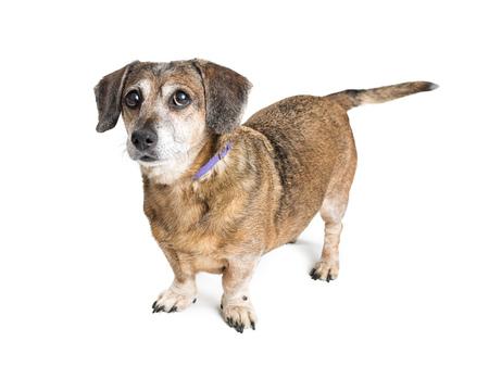 흰색 배경 위에 귀여운 작은 crossbreed 개 서