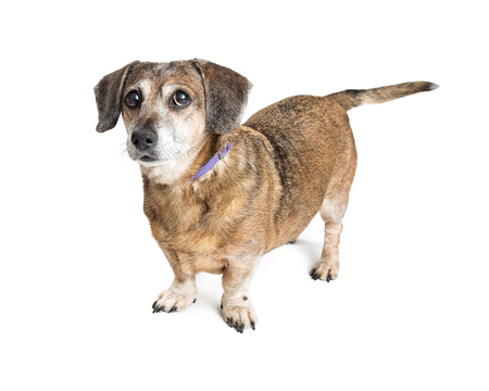Cute small crossbreed dog standing over white background Фото со стока