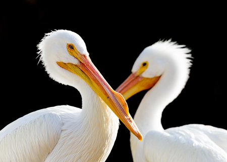 Closeup side view of two white pelicans with focus on front bird. Isolated on black.