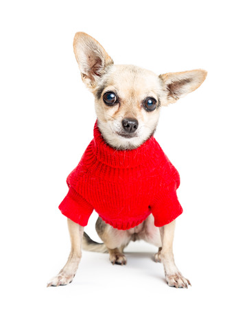 白い背景に座ってカメラを見ている間、赤いセーターを着てかわいいチワワ犬