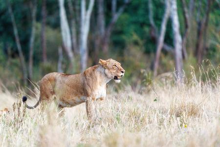 Mooie volwassen leeuwin die zich aan kant in lang gras van Kenia, Afrika bevinden