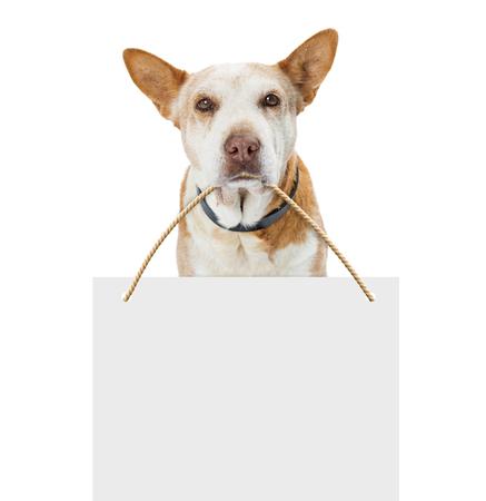 先輩の古い猟犬は、白の上にカメラを見て、彼の口の中にテキストのためのスペースと空白の看板を運んで混合品種犬。 写真素材