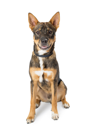 Medium size shepherd mixed breed dog with happy and friendly expression sitting on white background and looking at camera