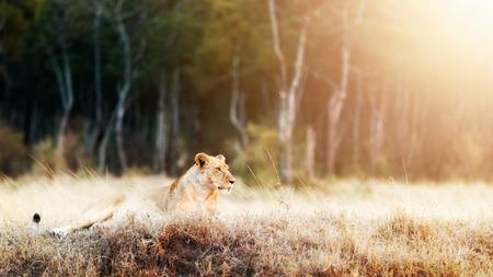 Mooie leeuwin met bloed op gezicht die in gebied met gouden zonlicht tijdens ochtendzonsopgang liggen Stockfoto