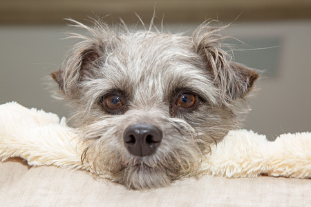 Cutel little mixed terrier breed dog resting head on a fleece blanket while lying in bed with a tired facial expression