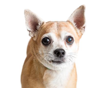 Closeup photo of a fawn color Chihuahua dog on white background Фото со стока