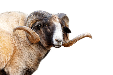 Closeup of Navajo Churro Sheep with big, long horns - Isolated on white