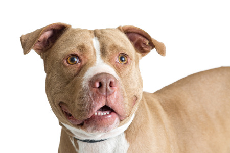 Closeup photo of fawn color Pit Bull dog with friendly and happy expression Фото со стока - 93247278