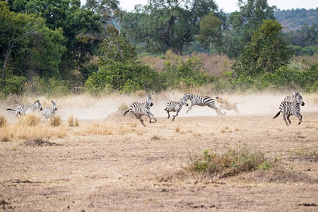 Lioness chasing herd of zebra in the Hippo Pool area of the Masai Mara in Kenya, Africa