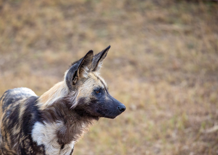 Closeup side view portrait of an African Wild Dog with copy space in blurred background
