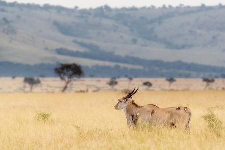 ケニアアフリカの大クドゥはオックスペッカーの鳥と高い草原 写真素材