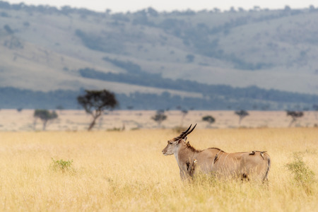 Large Kudu in Kenya Africa tall grass field with Oxpecker birds Stock Photo