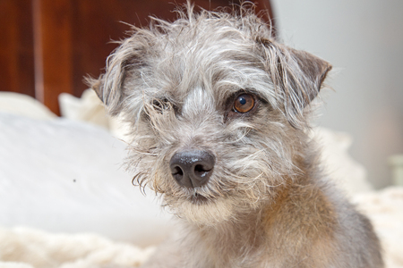 Funny photo of shaggy small dog with messy hair lying in bed