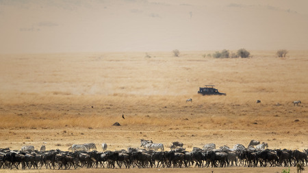 Herd of wildebeest and zebra in a wide African savanna scene with a moving tourist safari vehicle in the background and room for text Imagens