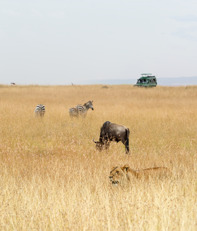 African safari animals and tourist safari vehicle in the grasslands of Kenya, Africa