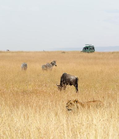 Afrikaanse safaridieren en het voertuig van de toeristensafari in de weiden van Kenia, Afrika Stockfoto - 93199140