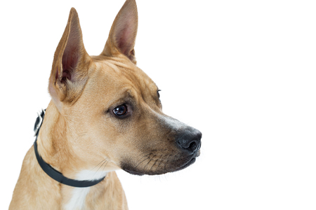 Closeup mixed shepherd and Basenji mixed breed dog profile with white copy space Stock Photo