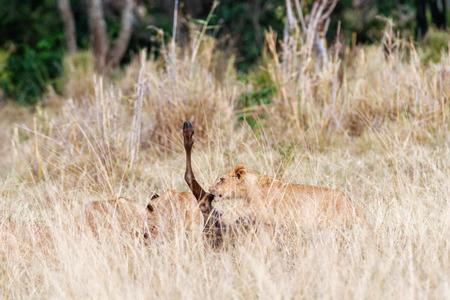 Jonge leeuwwelpen die recent meest wildebeest doden in lang gras van Kenia Afrika eten