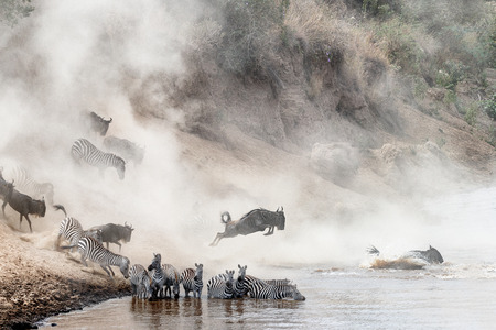 Dramatic photo herds of zebra and wildebeest leaping into the Mara River in Kenya, Africa during migration season