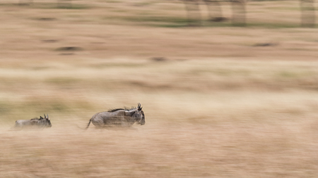 An adult and a baby wildebeest running through the grasslands of Kenya, Africa. Panning image to produce motion blur.