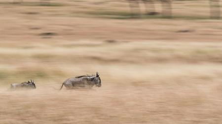 Een volwassen en een wildebeest die door de weiden van Kenia, Afrika loopt. Afbeelding pannen om bewegingsonscherpte te produceren.