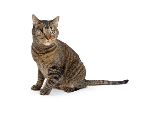 Brown tabby cat with one eye removed sitting on white background