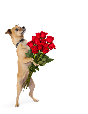 Cute little Chihuahua dog standing up on hind legs holding bouquet of a dozen roses
